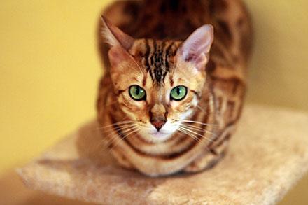 Uk S 10 Most Popular Cat Breeds Lifetime Pet Cover