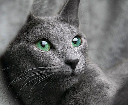 Russian Blue Breed Information Lifetime Pet Cover